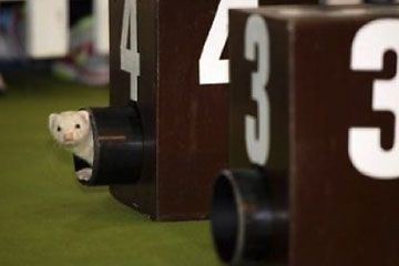 Ferret Racing - the emerging winner!
